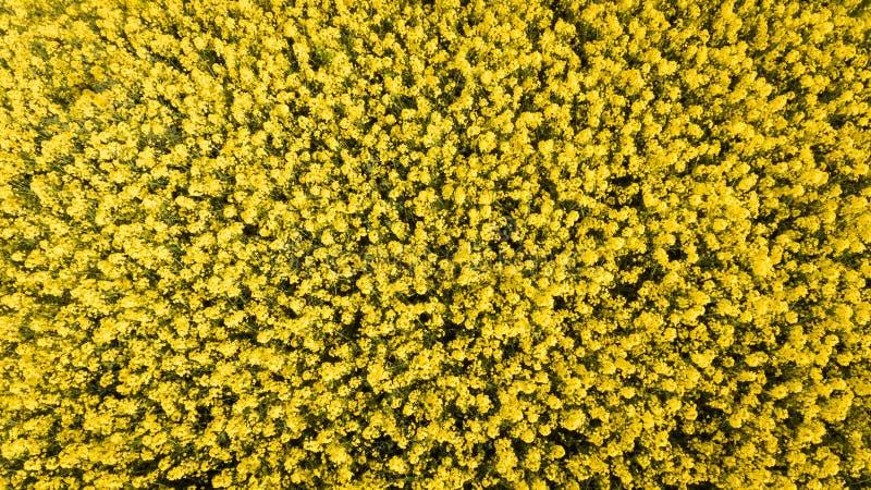 cultivar Campo da colza ireland fotografia de stock
