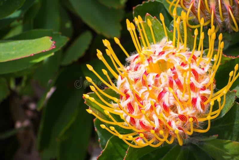 Cultivar del ` de Veldfire del ` de Leucospermum fotos de archivo libres de regalías