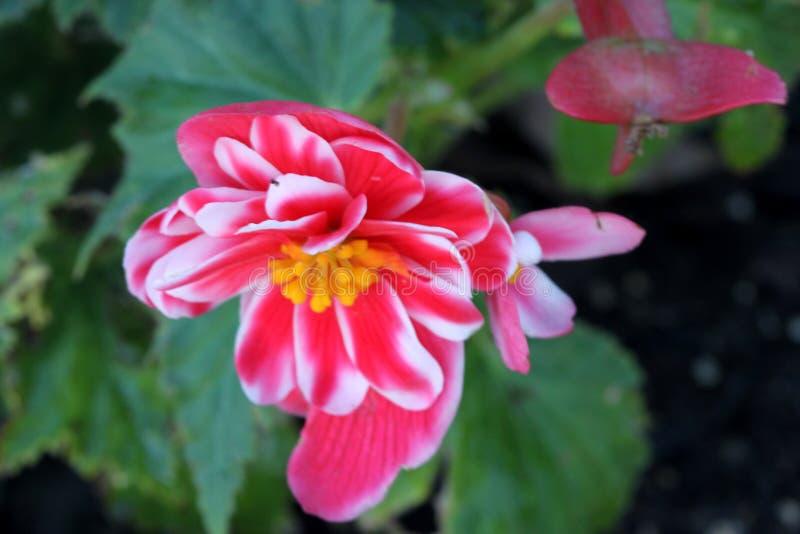 Cultivar di tuberhybrida della begonia x fotografia stock libera da diritti