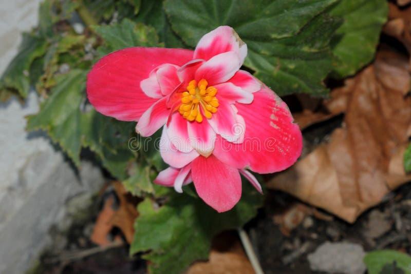 Cultivar di tuberhybrida della begonia x fotografia stock