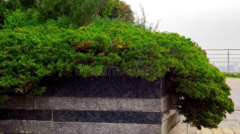 Cultivar het kruipen jeneverbessenjuniperus horizontalis van Agnieszka in de rotsachtige tuin stock foto's
