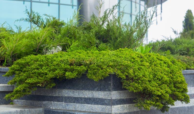 Cultivar pnącego jałowa Juniperus Agnieszka horizontalis w skalistym ogródzie obrazy stock