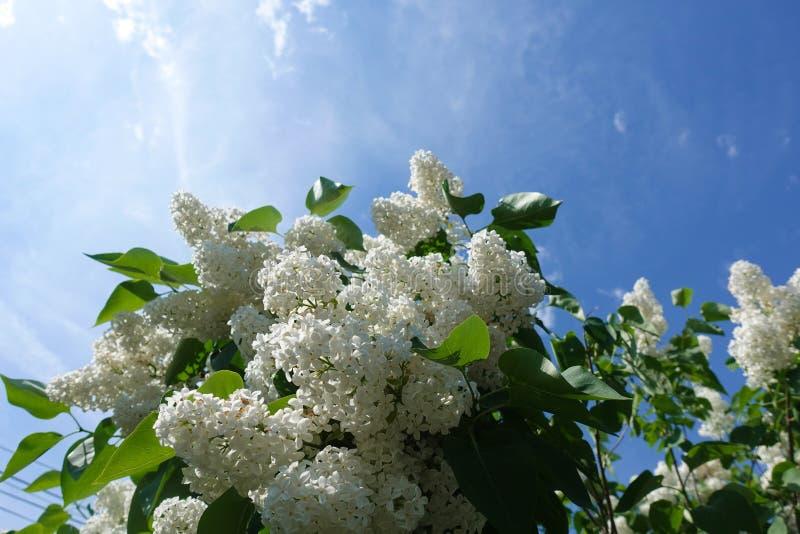 Cultivar vulgar de floresc?ncia do branco do arbusto de lil?s do Syringa comum Paisagem da primavera com grupo de flores macias l fotografia de stock
