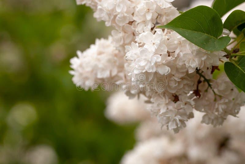 Cultivar vulgaris floreciente del blanco del arbusto de lilas del Syringa com?n Paisaje de la primavera con el manojo de flores b imagen de archivo
