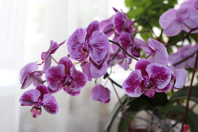 Cultivars roxos Sogo Yukidian do Phalaenopsis imagens de stock royalty free