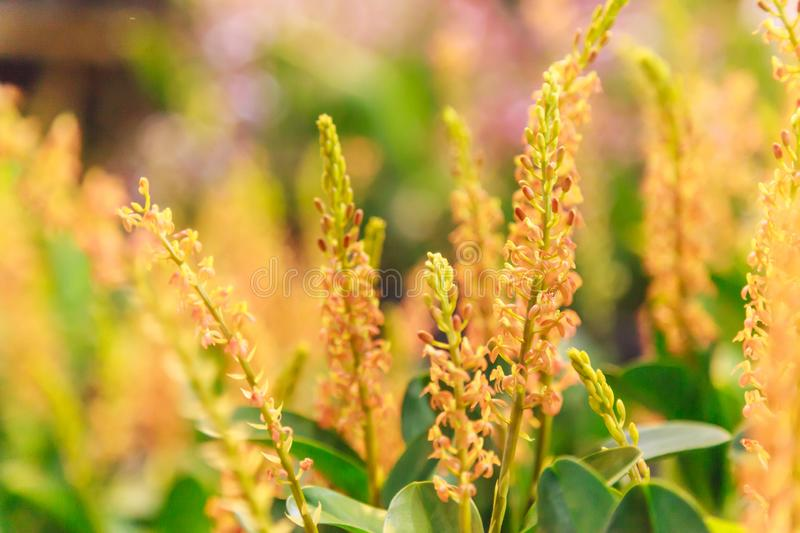 Cultivated beautiful mini potted budding yellow dendrobium orchid plant seedling in tropical orchid flower plantation. Agriculture royalty free stock photo