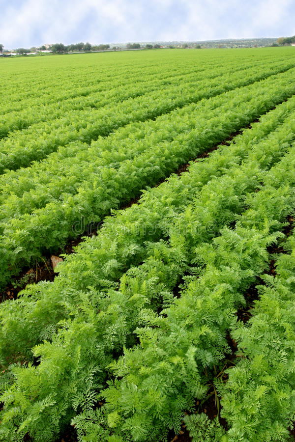 Download Cultivated field stock photo. Image of background, perspective - 29030504