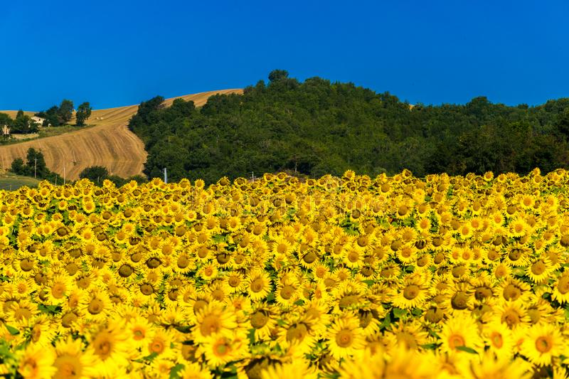 Cultivated field with sunflowers in the hills of Marche region central Italy royalty free stock photo