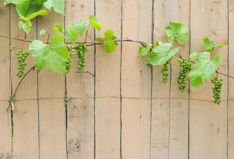 Cultivated grape woody vines clusters with unripe fruits royalty free stock images