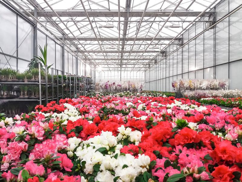 Cultivated ornamental flowers growing in a commercial plactic foil covered horticulture greenhouse. For warmth and protection from the weather - Image garden royalty free stock images