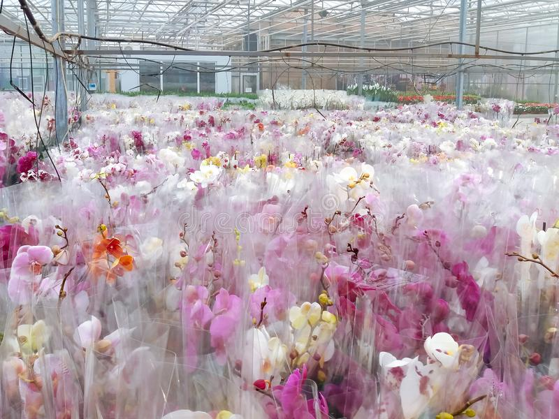Cultivated ornamental flowers growing in a commercial plactic foil covered horticulture greenhouse. For warmth and protection from the weather - Image garden stock images