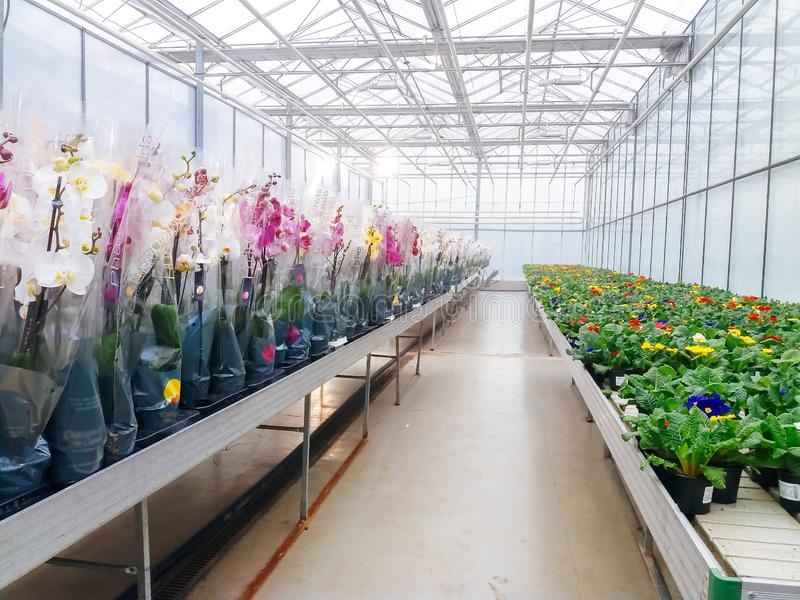 Cultivated ornamental flowers growing in a commercial plactic foil covered horticulture greenhouse. For warmth and protection from the weather - Image garden royalty free stock photo