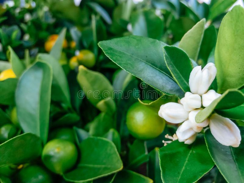 Cultivated ornamental flowers growing in a commercial plactic foil covered horticulture greenhouse. For warmth and protection from the weather - Image garden royalty free stock image