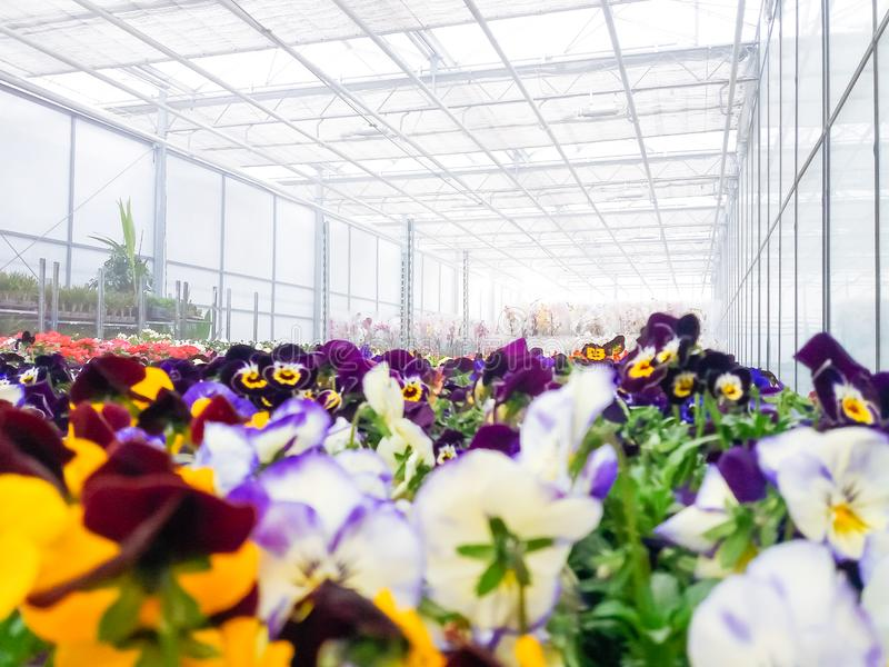 Cultivated ornamental flowers growing in a commercial plactic foil covered horticulture greenhouse. For warmth and protection from the weather - Image garden royalty free stock photos