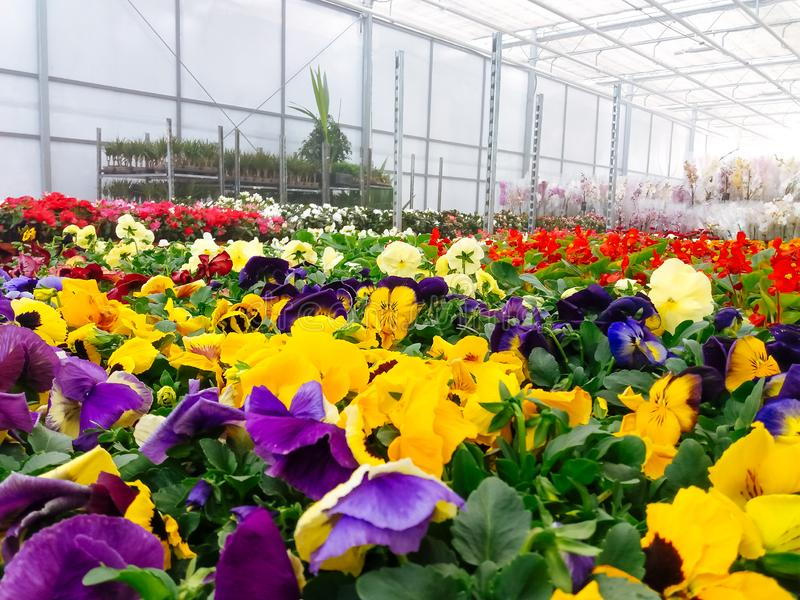 Cultivated ornamental flowers growing in a commercial plactic foil covered horticulture greenhouse. For warmth and protection from the weather - Image garden stock photo
