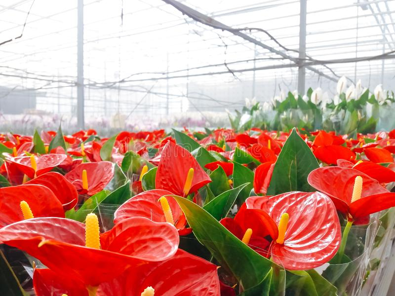 Cultivated ornamental flowers growing in a commercial plactic foil covered horticulture greenhouse stock image