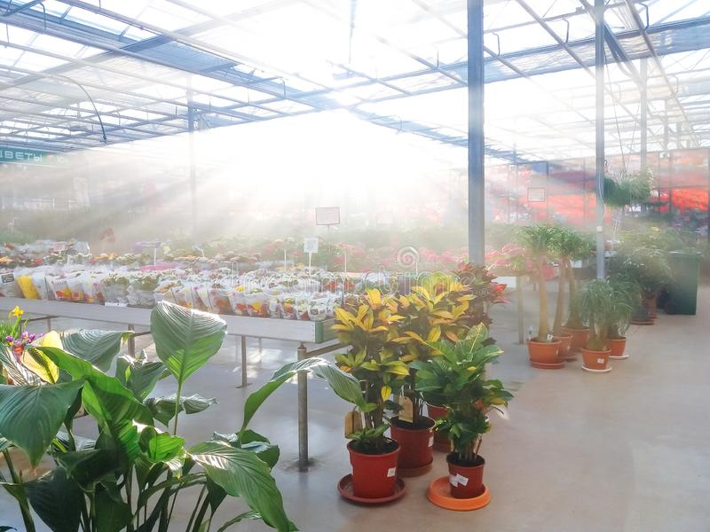 Cultivated ornamental flowers growing in a commercial plactic foil covered horticulture greenhouse. For warmth and protection from the weather - Image garden stock photos