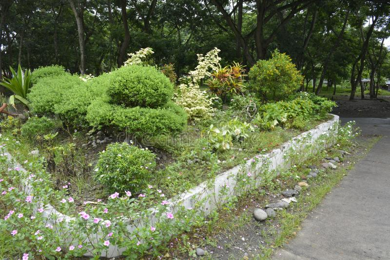 Cultivated plants in the premises of the Municipal Hall of Matanao, Davao del Sur, Philippines. This photo shows the cultivated plants in the premises of the royalty free stock photos