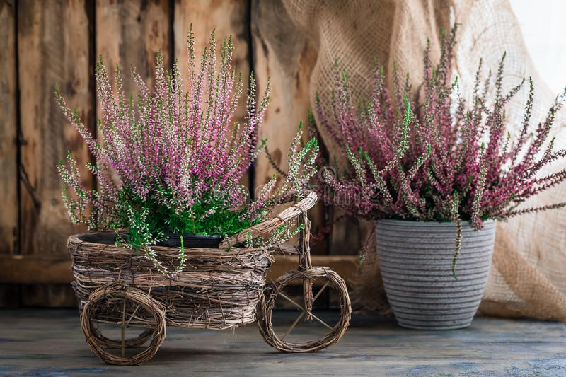 Cultivated potted pink calluna vulgaris or common heather flowers standing on wooden background. Toned royalty free stock images