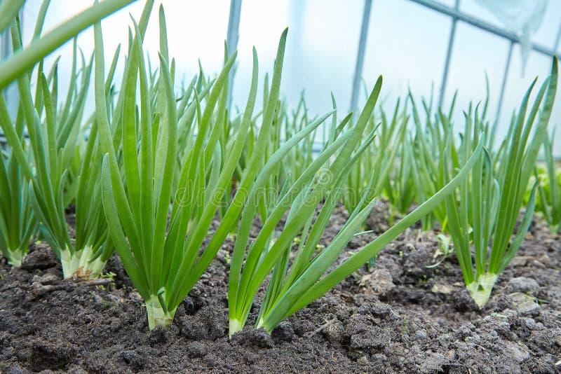 Green onion cultivation. Green onion field on a farm stock photo