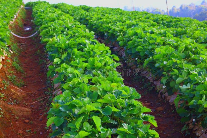 Cultivateurs Burberry de fraise image stock