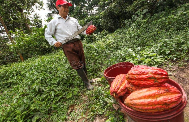 Cultivateurs de cacao dans la forêt tropicale au Pérou photos libres de droits