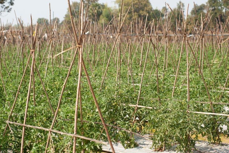 Cultivateurs de tomate. images stock