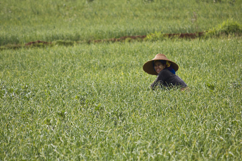 Cultivating Paddy field in Myanmar royalty free stock image