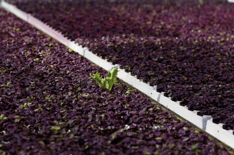 Download Cultivation of basil stock image. Image of difference - 93286867