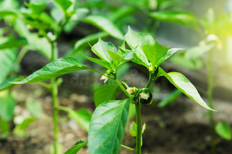 Cultivation of bell peppers in a greenhouse. stock photo
