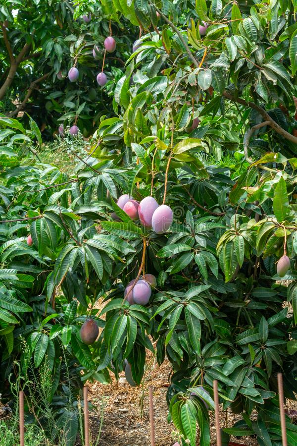 Cultivation of exotic sweet fruit mango in subtropical Malaga-Granada tropical coast region, Andalusia, Spain, ripe mango fruits. Cultivation of exotic sweet royalty free stock photo