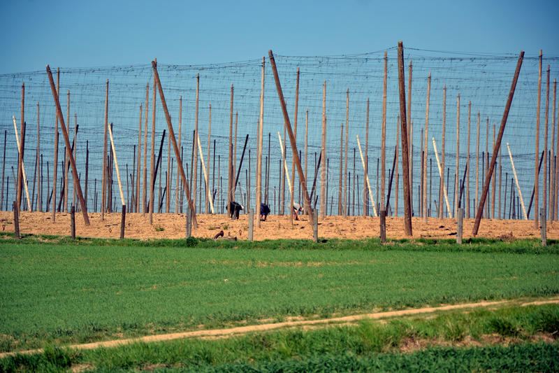 Download Cultivation Of Hops In Southern Czech Republic Stock Photo - Image: 24982228