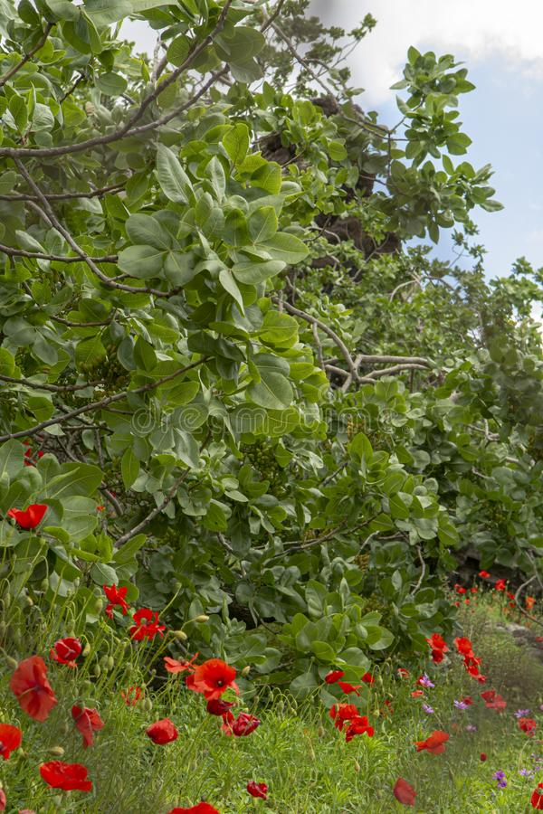 Cultivation of important ingredient of Italian cuisine, plantation of pistachio trees with ripening pistachio nuts near Bronte,. Located on slopes of Mount Etna stock photos