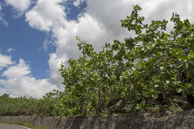 Cultivation of important ingredient of Italian cuisine, plantation of pistachio trees with ripening pistachio nuts near Bronte,. Located on slopes of Mount Etna royalty free stock photo