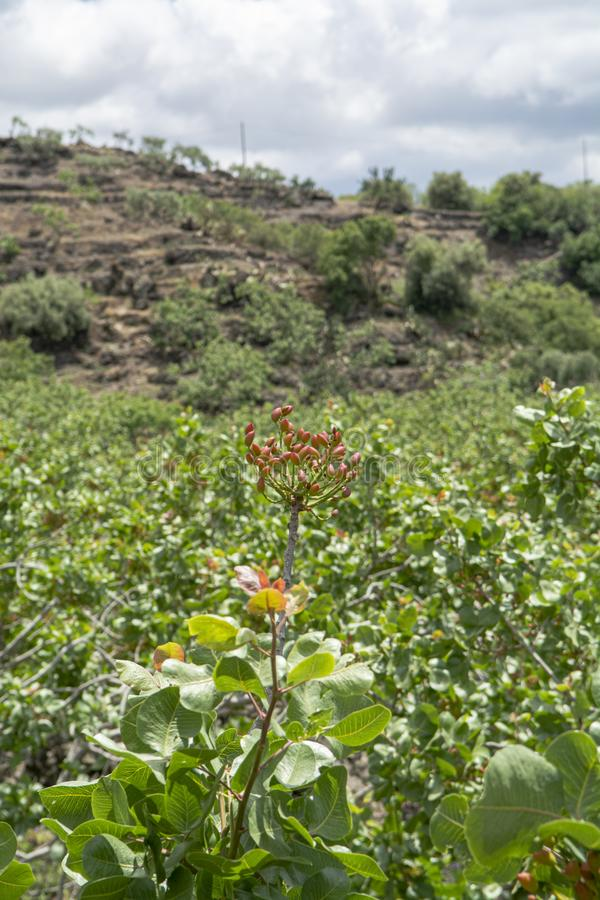 Cultivation of important ingredient of Italian cuisine, plantation of pistachio trees with ripening pistachio nuts near Bronte,. Located on slopes of Mount Etna stock photography