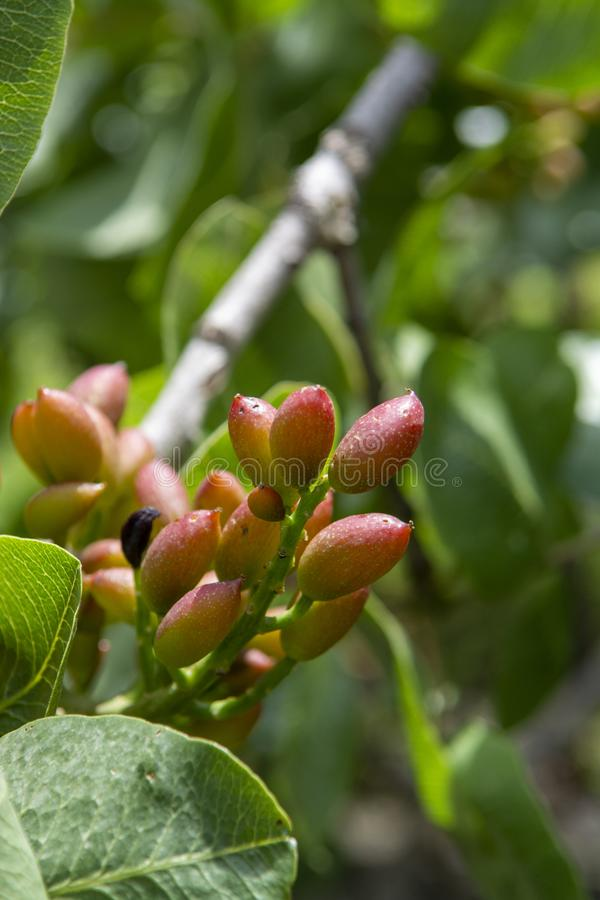 Cultivation of important ingredient of Italian cuisine, plantation of pistachio trees with ripening pistachio nuts near Bronte, stock photography