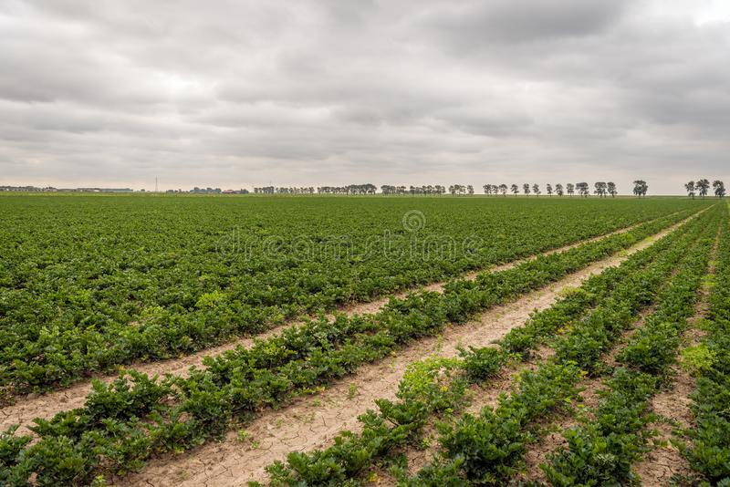 Cultivation of leaf celery in long converging rows. Dutch landscape of a large field with the cultivation of leaf celery in seemingly endless long converging stock photos