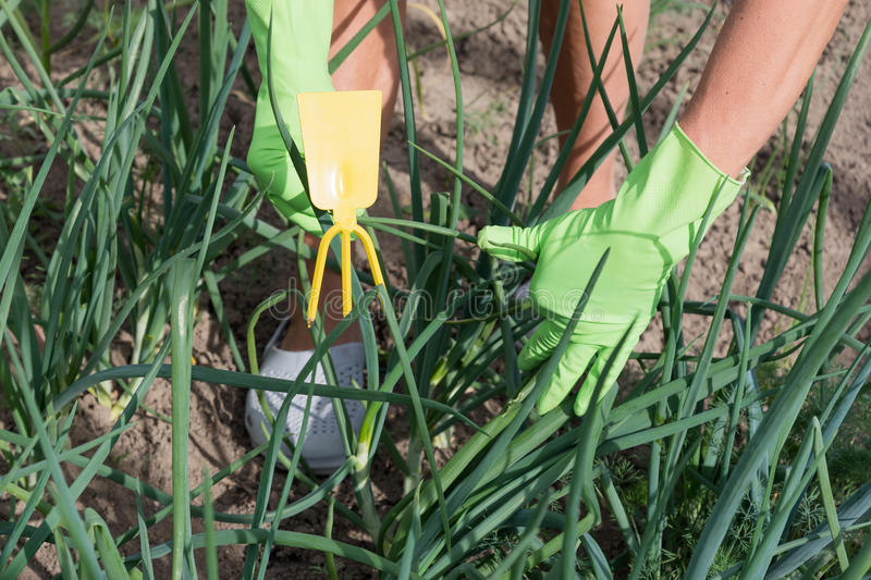 Cultivation of onoins. Weeding and cultivation of onion plants stock image