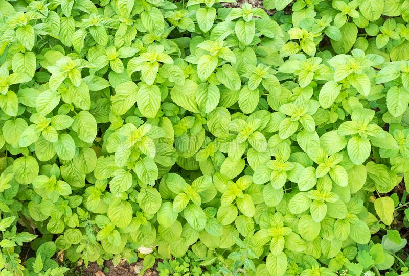 Cultivation of organic mint in a spring day. Top view of cultivation of organic mint in a sunny day stock photography