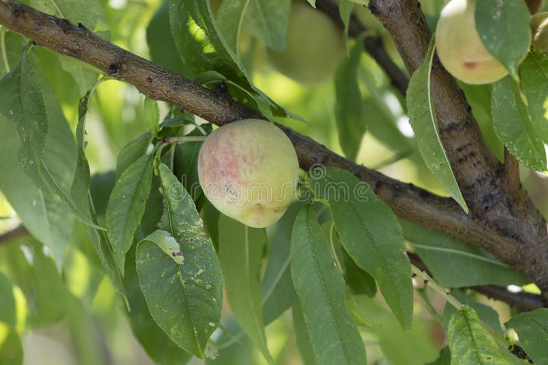 Cultivation of peach stock photo