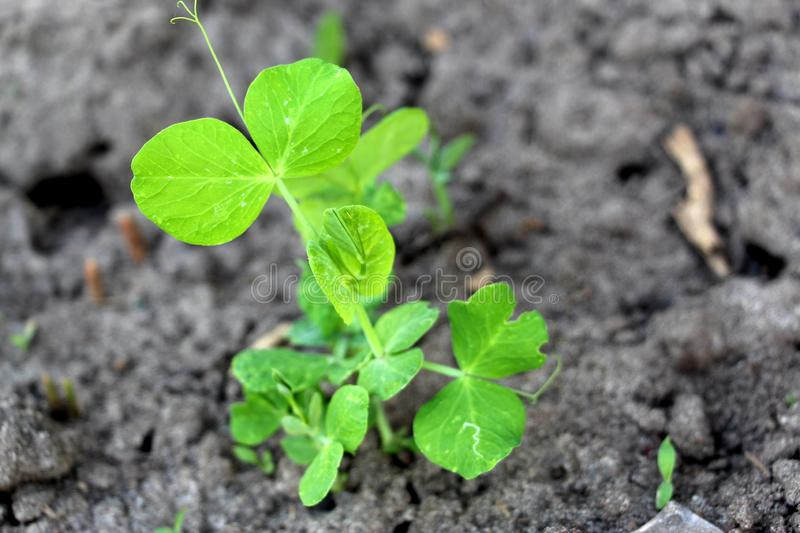 Cultivation of peas. Green sprouts. Fresh new peas in the garden. Sprouted vegetables. Green sprouted leaves and twigs of peas. Planting peas in May stock photos