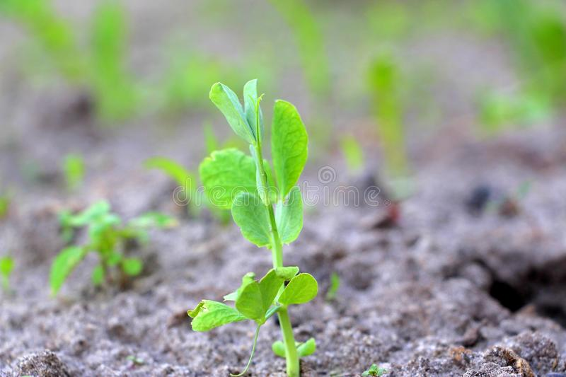 Cultivation of peas. Green sprouts. Fresh new peas in the garden. Sprouted vegetables. Green sprouted leaves and twigs of peas. Planting peas in May stock image
