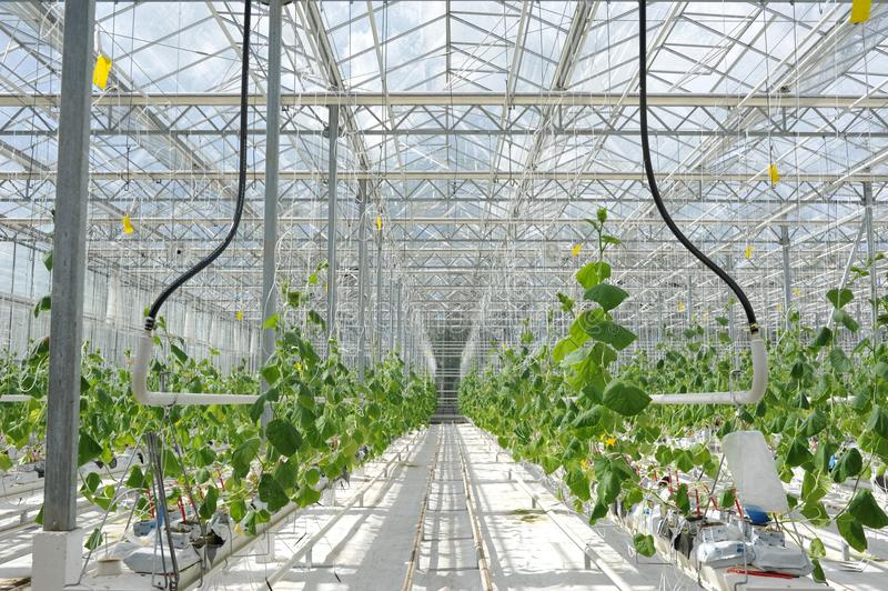 Cultivation of tomatoes, cucumbers and other vegetables in greenhouses and greenhouses in the north of Russia. Agriculture in the stock photo