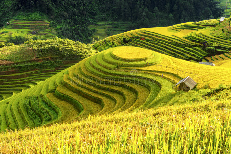 Cultivation in vietnam Rice fields terraced prepare harvest royalty free stock images