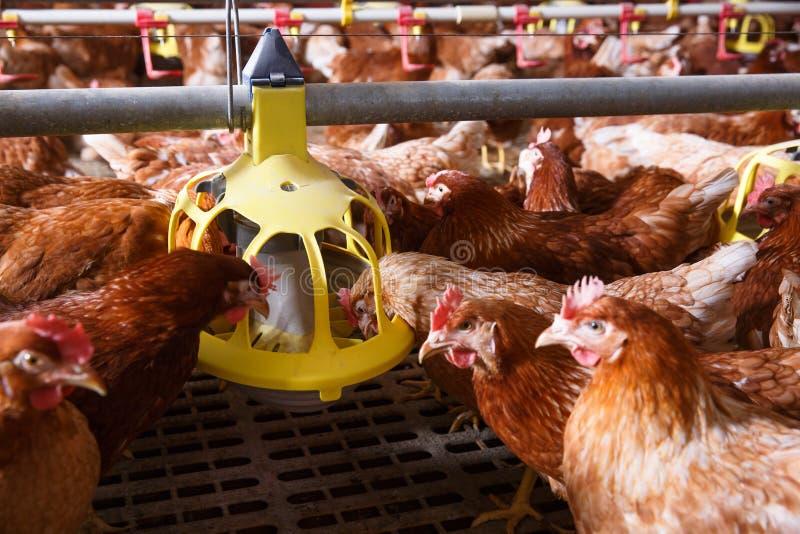 Cultive a galinha em um celeiro, comendo de um alimentador automático imagem de stock