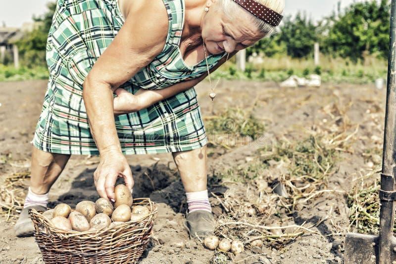 Cultivo, cultivando un huerto, agricultura, ancianos, hembra, granjero, patatas, jardín de la granja fotos de archivo