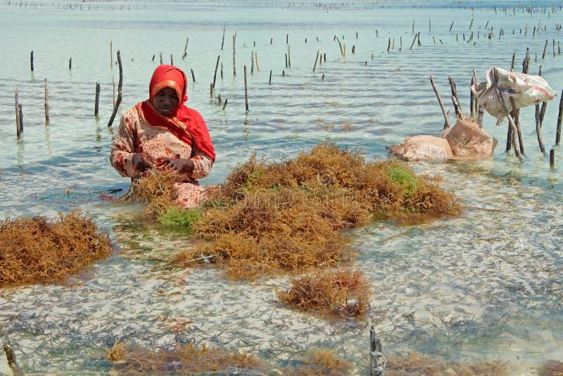 Cultivo da alga - Zanzibar fotografia de stock royalty free