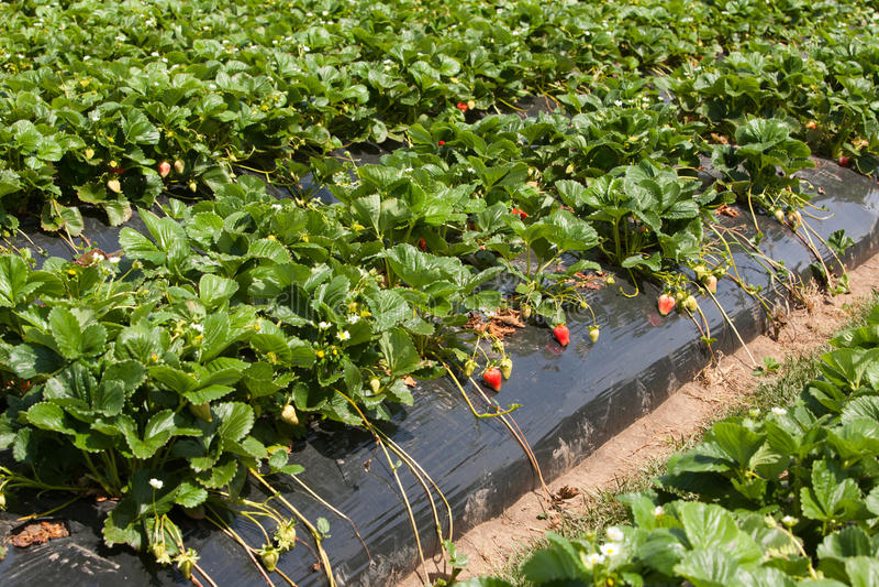 Cultivo da morango imagem de stock