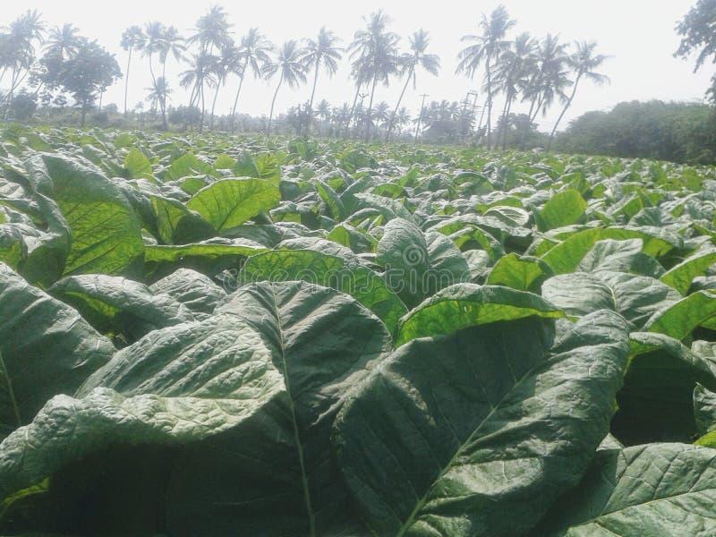 Cultivo da planta de cigarro fotografia de stock