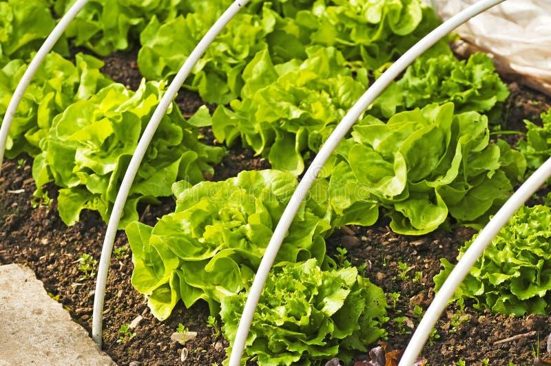 Cultivo da salada fotos de stock